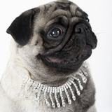 Pug Wearing Pearl Necklace Photographic Print
