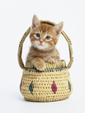 Orange Tabby Kitten in Basket Photographic Print by Pat Doyle
