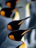 Group of king penguins Photographic Print by Theo Allofs