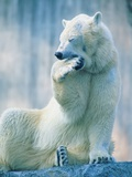 Polar bear yawning in zoo enclosure Photographic Print by Herbert Kehrer