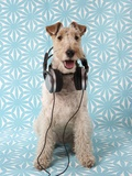 Fox Terrier with Headphones Photographic Print