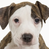 Portrait of a pitbull puppy Photographic Print