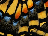 Close-Up of Anise Swallowtail's Wing Photographic Print by Ralph Clevenger