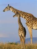 Masai Giraffes Photographic Print by John Eastcott & Yva Momatiuk