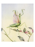 Illustration of Praying Mantis by Edward Julius Detmold Giclee Print