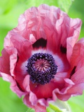 Pink Poppy in Bloom Photographic Print by Mark Bolton