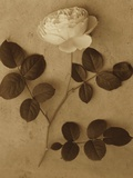 Single White Rose Photographic Print by Ann Cutting