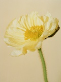 White poppy Photographic Print by Kate Mitchell