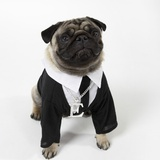 Pug Wearing Shirt, Tie and Necklace Photographie