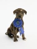 Pit Bull Puppy with 1st Place Ribbon Photographic Print by Pat Doyle