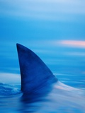 Shark's Dorsal Fin Cutting Surface of Water Fotografisk tryk af Randy Faris
