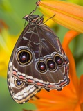 Blue Morpho Resting on an Orange Asiatic Lily Photographic Print by Darrell Gulin