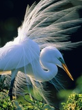 Great egret Photographic Print by Theo Allofs