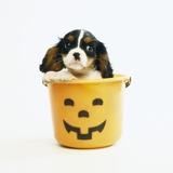 Cavalier King Charles Spaniel Puppy Photographic Print by Pat Doyle
