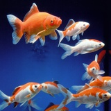 Several goldfishes in the aquarium Photographie par Frithjof Hirdes