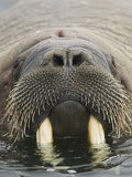 Walrus Looking Straight Ahead Photographic Print