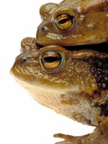 Two european toads Photographie par W. Krecichwost