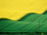 Rape field beside green field Photographic Print by Pete Leonard