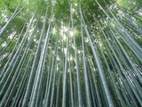 Grove of Japanese Bamboo Photographic Print