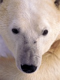 Polar bear Photographic Print by Kevin Schafer
