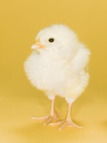 Chick Photographic Print by Randy M. Ury
