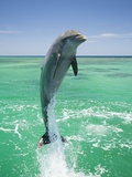 Jumping Bottlenose Dolphin Lmina fotogrfica por Stuart Westmorland