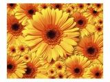 Sun flowers Giclee Print by Matthias Kulka
