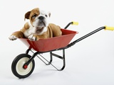 English Bulldog Puppy in a Wheelbarrow Photographic Print by Peter M. Fisher