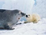 Harp seal mother and pup Reprodukcja zdjęcia autor Tom Brakefield
