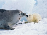 Harp seal mother and pup Stampa fotografica di Tom Brakefield