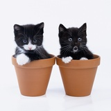 Two Kittens in Flower Pots Photographic Print by Pat Doyle
