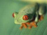 Red Eyed Tree Frog Photographic Print by Frans Lemmens