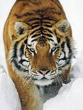 Male Siberian Tiger in Snow Photographic Print by Andy Rouse