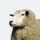 Wooly Sheep Fotoprint van Adrian Burke