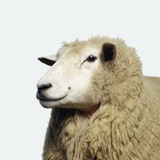 Wooly Sheep Photographic Print by Adrian Burke