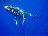 Humpback Whales Underwater Photographic Print by Paul Souders