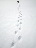 Gentoo Penguin Walking and Leaving Footprints in Snow Reprodukcja zdjęcia autor John Eastcott & Yva Momatiuk