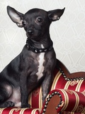 Black chihuahua perking his ears Photographic Print