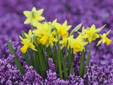 Yellow Daffodils in Purple Heather Photographic Print by Markus Botzek