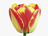 Yellow and Red Tulip Photographic Print by Frank Krahmer