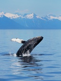 A Breaching Humpback Whale in Alaska Photographic Print