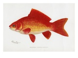 Goldfish (Carassius Auratus) Giclee Print by Sherman Foote Denton