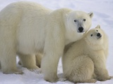 Polar Bear Mother and Cub Photographic Print by Daniel Cox