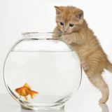 Kitten trying to get at a goldfish Photographic Print