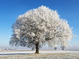 Lime Tree Covered with Frost Germany Photographic Print by Frank Krahmer