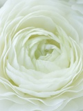 Close-up of White Flower Photographic Print by Clive Nichols