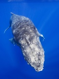 Humpback Whale Swimming Toward Water Surface Photographic Print by Paul Souders