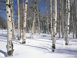 Quaking Aspens in Snow Photographic Print by James Randklev
