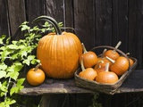 Pumpkins arranged next to a weathered fence Photographic Print by Thomas Francisco