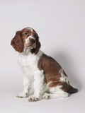 Springer spaniel Photographic Print by Arthur Baensch